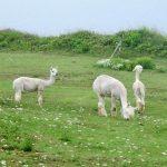 Alpaca-Farm