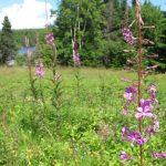 Fireweed - wächst quasi überall