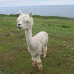 Alpacas - immer auf Essbares aus
