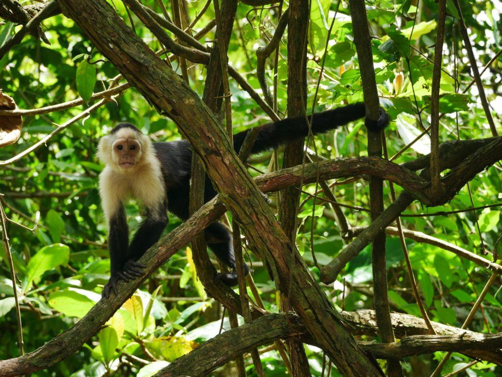 41_Weißgesicht-Affen im Cahuita Nationalpark