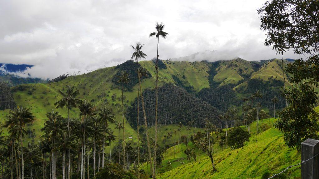 6_der Nationalbaum Kolumbiens, die höchste Palme der Welt - Quindio-Palme, bei Toche